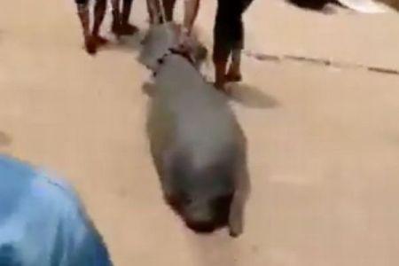 ナイジェリアでマナティが路上で引きずられる動画が浮上、捕獲の実態とは?