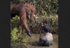 ヘビのいる川から人を救おうとするオランウータンが感動的