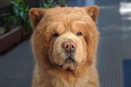 まるでリアル・テディベア!ネットで話題のチャウチャウ犬がかわいい