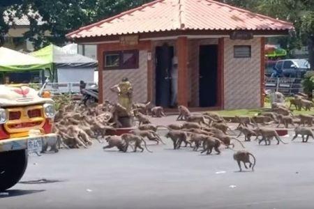 新型コロナウイルスの思わぬ影響、タイの街でサルの集団が抗争を繰り広げる!