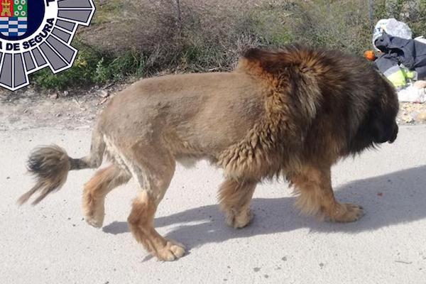 住民を騒がせたはぐれライオン、その正体は犬だった