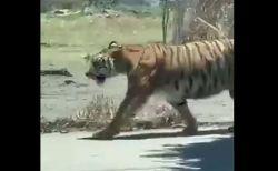 メキシコの街にトラが出現、男性らが投げ縄で捕まえる様子が撮影される
