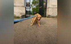 散歩から家へ帰りたくないワンコ、頑固すぎるリアクションに飼い主も困惑