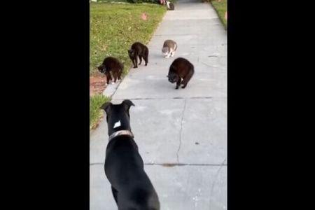 散歩中のワンコ、不幸にも4匹のネコの集団に睨まれてしまう…その結果は?
