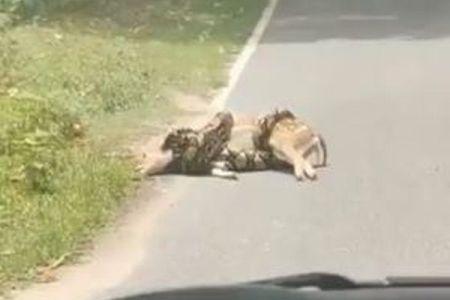 路上で大蛇に締め殺されそうな子鹿、人の手で助かった【動画】