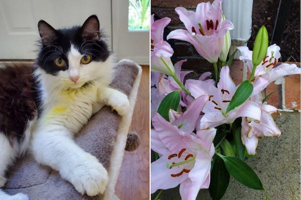 ユリの花でペットの猫が死にそうに…飼い主が知らなかった危険性とは?