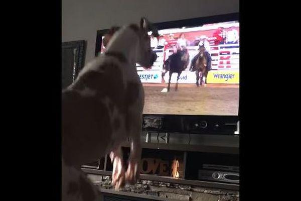 ロデオのテレビを見て、一緒に飛び跳ねてしまうワンコが可愛い