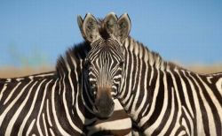 この顔はどっちのもの?アフリカで撮影されたシマウマの写真に人々が困惑