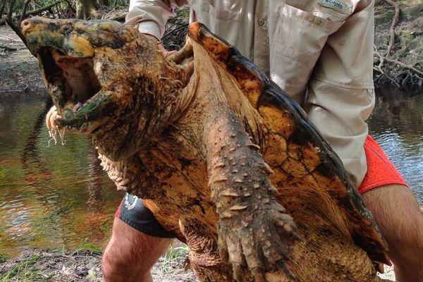 まるでガメラ!米で45kgもの巨大な「カミツキガメ」が見つかる!