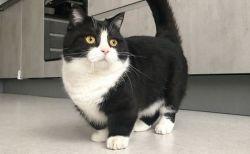 足の長さはなんと10センチ、短いけれどかわいいネコがインスタで人気