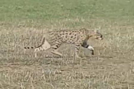 英の公園で大型のネコ科動物を目撃、普通に歩いていく姿に住民もびっくり