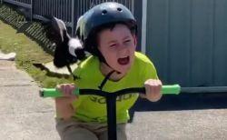 豪に生息するカササギフエガラス、キックボードの少年を執拗に攻撃