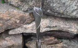 「この獲物は俺のものだ!」魚を引っ張り合う2匹のヘビを目撃【インド】