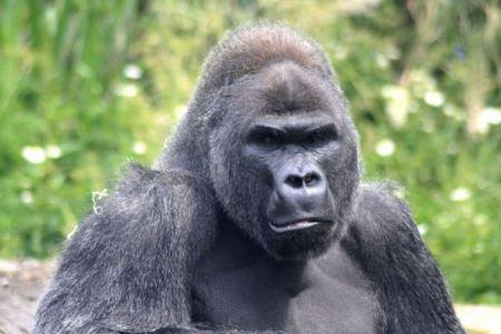 スペインの動物園で女性飼育員がゴリラに襲われ、両腕や胸を骨折