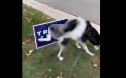 犬はトランプ大統領が嫌い?選挙用の看板におしっこする動画が話題に