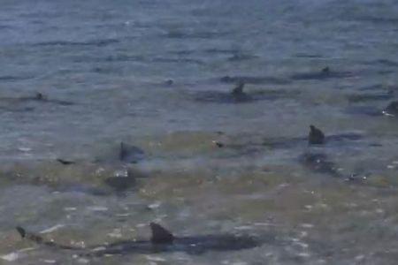 豪の海に無数の小さなサメ、浅瀬に集まり背びれを出して動き回る
