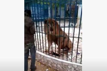 セネガルの動物園で男性がライオンに腕を噛まれる、その映像がショッキング