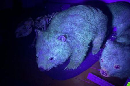 ウォンバットなど豪の有袋類や哺乳類が、UVを照射すると発光することが明らかに