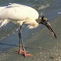 w- wood stork