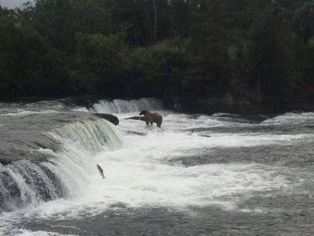Katmai - Brooks Falls bear