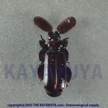 [:ja]Arthropterus sp5 1ex オーストラリア[:en]Arthropterus sp5 1ex Australia[:]