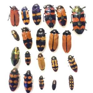 [:ja]オーストラリアのタマムシ スターターキット 25exs [:en]Austraiam Buprestidae Castiarina,Bubastes Cisseis Assorted 25exs[:]