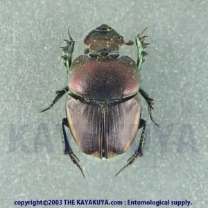 [:ja]Phalops sp 11mm 1ex マラウイ [:en]Phalops sp 11mm 1ex Malawi[:]