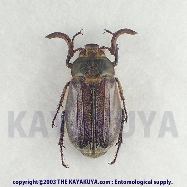 [:ja]ケブカコフキコガネ ♂ 奄美大島 [:en]Tricholontha papagena inouei ♂ Japan Amamioshima-Is[:]
