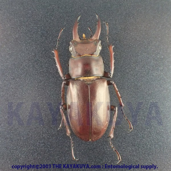 [:ja]アマミミヤマクワガタ 30mm♂ 奄美大島 [:en]Lucanus Ferriei 30mm Male Japan Amamioshima-Is[:]