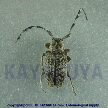 [:ja]Unknow Cerambycidae sp013 1ex オーストラリア[:en]Unknow Cerambycidae sp013 1ex Australia[:]