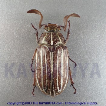 [:ja]Polyphylla sp ♂ メキシコ[:en]Polyphylla sp ♂ Mexico[:]