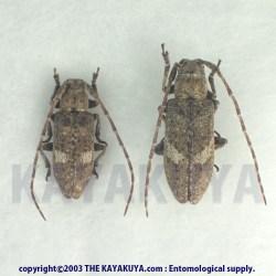 [:ja]アマミウスフタモンサビカミキリ PA 奄美大島[:en]Ropica japonica amamiana PA Japan Amamioshima-Is[:]