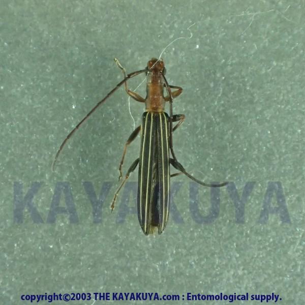 [:ja]Syllitus microps 1ex オーストラリア[:en]Syllitus microps 1ex Australia [:]