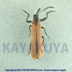 [:ja]Porrostoma sp? 1exA2 オーストラリア[:en]Porrostoma sp? 1exA2 Australia[:]