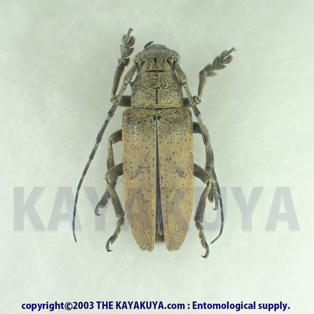 [:ja]サビアヤカミキリ ♂ 奄美大島[:en]Abryna obscura ♂ Japan Amamioshima-Is[:]