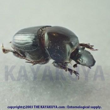 [:ja]Onthphagus sp 8mm 1ex マラウイ[:en]Onthphagus sp 8mm 1ex Malawi[:]