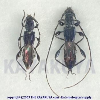 [:ja]コバルトヒゲナガコバネカミキリ PA 奄美大島 [:en]Glaphyra cobaltina PA Japan Amamioshima-Is[:]