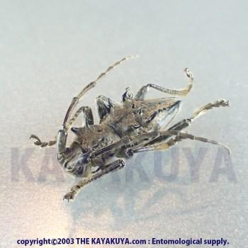 [:ja]Ceraegidion horrens 17mm 1ex オーストラリア[:en]Ceraegidion horrens 17mm 1ex Australia Endmic Rarity!! [:]