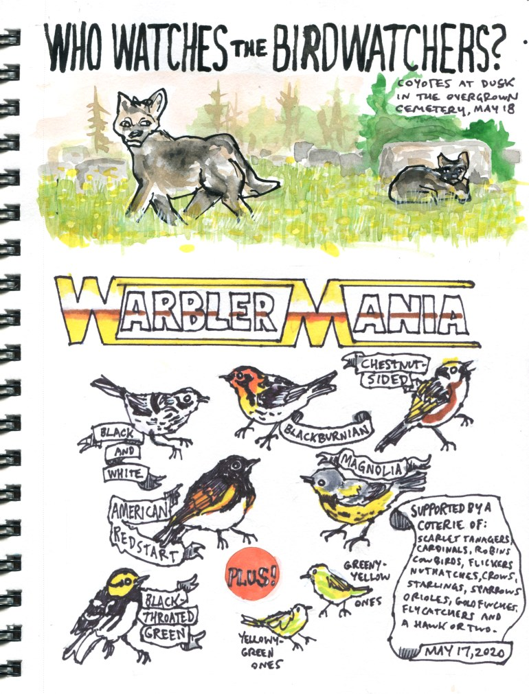 My Pandemic Diary page 47 Warbler mania, coyotes