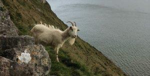 LLandudnos Kashmiri Goats
