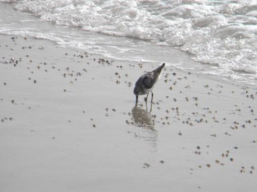 sandpiper and coquina clams