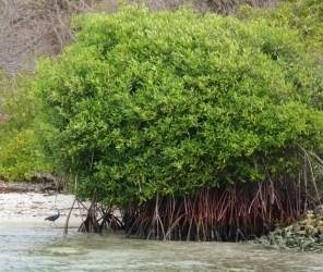 Kleiner schwarzer Reiher unter Mangroven