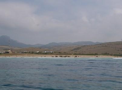 Stiere am Strand