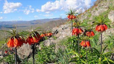 "Photo of أزهار ""التوليب المقلوب"" تزين جبل سالفان بمرعش التركية"