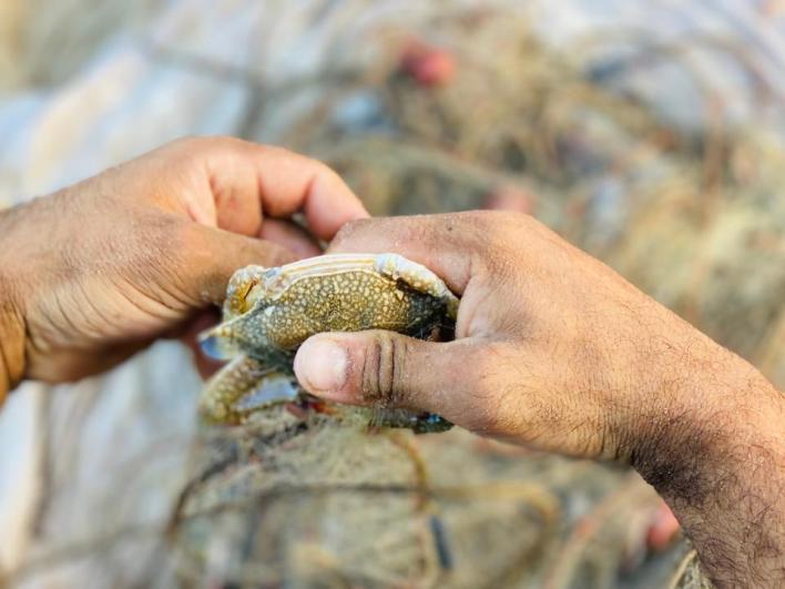 الأشخاص الذين يعملون في مهنة صيد السلطعونات يتعرضون لقرصات من السلطعونات التي تتحرك حتى بعد استخراجها من الماء