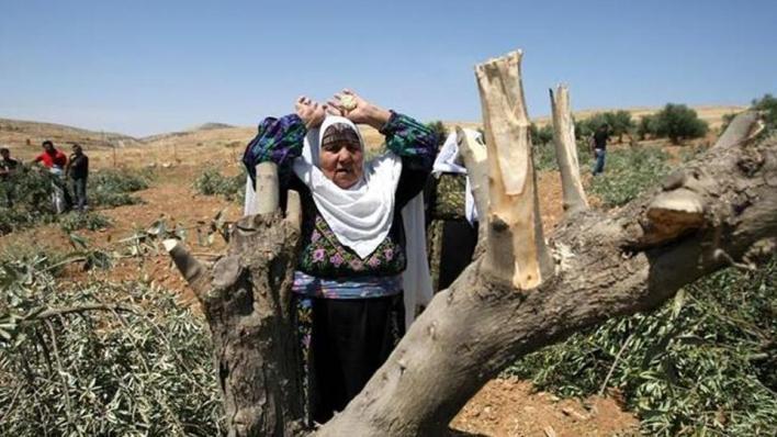 جيش الاحتلال والمستوطنون أتلفوا نحو 5711 شجرة زيتون في الأراضي الفلسطينية خلال العام الجاري