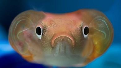 صورة اغرب أنواع السمك السمكة الذهبية