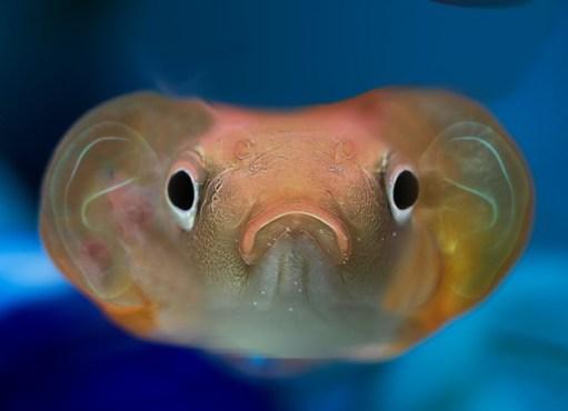 170815065112 300x217 - اغرب أنواع السمك السمكة الذهبية