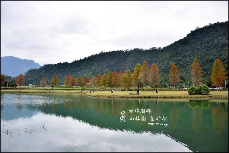 員山福園 蜊埤湖 落羽松