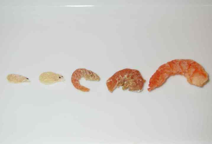 The different sizes of dried shrimp